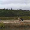 How to preserve a colony of terns in Sečovlje Salina against a numerous population of  Hooded Crows and other aerial predators?